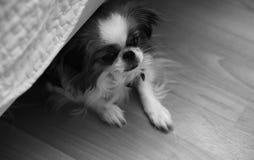 Διακοσμητική φυλή των σκυλιών Ένα μικρό εσωτερικό σκυλί Το σκυλί κάτω από το θόριο Στοκ φωτογραφία με δικαίωμα ελεύθερης χρήσης