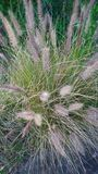 Διακοσμητική χλόη πηγών στον κήπο - Pennisetum alopecuroides Στοκ φωτογραφία με δικαίωμα ελεύθερης χρήσης