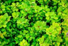 Διακοσμητικοί θάμνοι με τα μικρά πράσινα φύλλα Στοκ φωτογραφίες με δικαίωμα ελεύθερης χρήσης