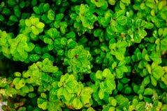 Διακοσμητικοί θάμνοι με τα μικρά πράσινα φύλλα Στοκ Φωτογραφίες