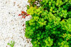 Διακοσμητικοί θάμνοι με τα μικρά πράσινα φύλλα Στοκ φωτογραφία με δικαίωμα ελεύθερης χρήσης