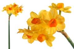 διακοσμητικοί νάρκισσοι λουλουδιών Στοκ Φωτογραφίες