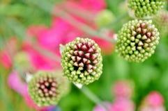 Διακοσμητικοί οφθαλμοί λουλουδιών Allium sphaerocephalon Στοκ Εικόνες