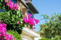 Διακοσμητικός θάμνος λουλουδιών Bougainvillea στο υπόβαθρο του Bu στοκ φωτογραφίες