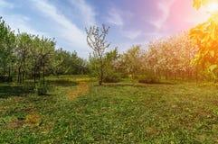 Διακοσμητικός κήπος με ανθίζοντας τα μεγαλοπρεπώς μεγάλα δέντρα κερασιών και τα δέντρα της Apple σε έναν φρέσκο πράσινο χορτοτάπη στοκ φωτογραφία με δικαίωμα ελεύθερης χρήσης