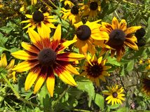 Διακοσμητικός κήπος Helianthus στοκ εικόνες με δικαίωμα ελεύθερης χρήσης