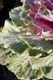 Διακοσμητικό λάχανο με τη δροσιά Στοκ Εικόνα