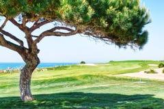 Διακοσμητικό δέντρο πεύκων σε ένα γκολφ. Στοκ Εικόνα