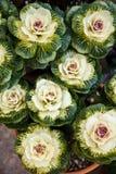 Διακοσμητικό κατσαρό λάχανο στον κήπο Στοκ Φωτογραφίες