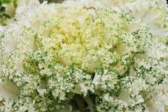 Διακοσμητικό λάχανο κατσαρού λάχανου Στοκ Εικόνες