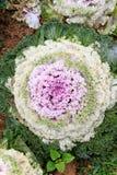 Διακοσμητικό λάχανο κατσαρού λάχανου Στοκ Εικόνα