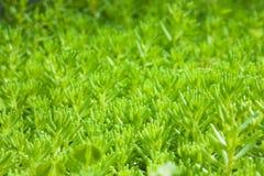 διακοσμητικό μακρο πλάνο φυτών κάλυψης Στοκ Εικόνες