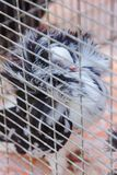 Διακοσμητικό περιστέρι σε ένα κλουβί Στοκ εικόνες με δικαίωμα ελεύθερης χρήσης