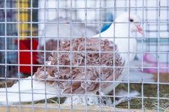 Διακοσμητικό περιστέρι σε ένα κλουβί Στοκ Εικόνα