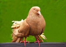 Διακοσμητικό πουλί - peacock περιστέρι Στοκ Εικόνες