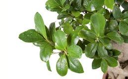διακοσμητικό πράσινο μικ&rho Στοκ Εικόνα