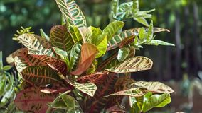 Διακοσμητικό τροπικό φυτό τα ευρέα φύλλα που φωτίζονται με από τον ήλιο και που κινούνται από τον αέρα απόθεμα βίντεο