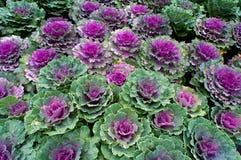 Διακοσμητικό φυτό κατσαρού λάχανου Στοκ Φωτογραφία