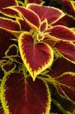 διακοσμητικό φυτό Στοκ Φωτογραφία