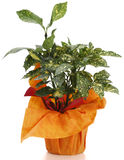 διακοσμητικό φυτό aucuba στοκ φωτογραφίες