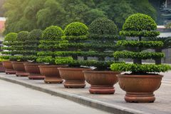 Διακοσμητικό Ficus Annulata ή δέντρο Banyan Στοκ Εικόνα