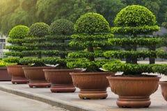 Διακοσμητικό Ficus Annulata ή δέντρο Banyan Στοκ φωτογραφία με δικαίωμα ελεύθερης χρήσης