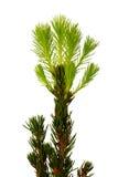 Διακοσμητικό fir-tree Στοκ φωτογραφίες με δικαίωμα ελεύθερης χρήσης