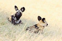 Διακυβευμένα άγρια σκυλιά της Αφρικής στοκ φωτογραφία με δικαίωμα ελεύθερης χρήσης