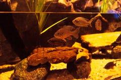 Διακυβευμένα chub Arroyo ψάρια Στοκ Εικόνες