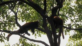 Διακυβευμένη κόκκινη συνεδρίαση Pandas στο δέντρο τη θερμή ηλιόλουστη ημέρα απόθεμα βίντεο