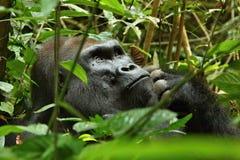 Διακυβευμένος ανατολικός γορίλλας στην ομορφιά της αφρικανικής ζούγκλας στοκ φωτογραφία με δικαίωμα ελεύθερης χρήσης