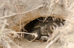 Διακυβευμένος γοπχερ Tortoise στο κρησφύγετο στοκ εικόνα