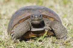 Διακυβευμένος γοπχερ Tortoise - Φλώριδα στοκ φωτογραφία με δικαίωμα ελεύθερης χρήσης