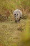 Διακυβευμένος ινδικός ρινόκερος στο βιότοπο φύσης Στοκ Φωτογραφίες