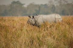 Διακυβευμένος ινδικός ρινόκερος στο βιότοπο φύσης Στοκ φωτογραφία με δικαίωμα ελεύθερης χρήσης