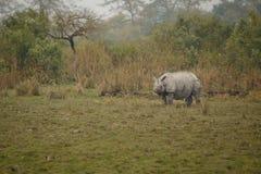 Διακυβευμένος ινδικός ρινόκερος στο βιότοπο φύσης Στοκ εικόνες με δικαίωμα ελεύθερης χρήσης