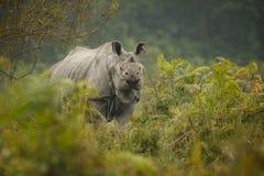 Διακυβευμένος ινδικός ρινόκερος στο βιότοπο φύσης Στοκ Φωτογραφία