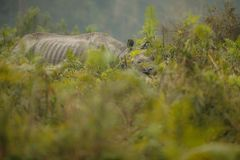 Διακυβευμένος ινδικός ρινόκερος στο βιότοπο φύσης Στοκ εικόνα με δικαίωμα ελεύθερης χρήσης