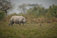 Διακυβευμένος ινδικός ρινόκερος στο βιότοπο φύσης Στοκ Εικόνα