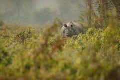 Διακυβευμένος ινδικός ρινόκερος στο βιότοπο φύσης Στοκ Εικόνες