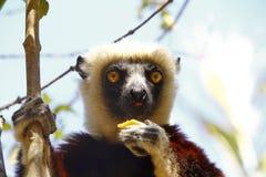 Διακυβευμένος κερκοπίθηκος Sifaka Coquerel (coquereli Propithecus) στοκ φωτογραφίες