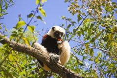 Διακυβευμένος κερκοπίθηκος Sifaka Coquerel (coquereli Propithecus) στοκ εικόνα με δικαίωμα ελεύθερης χρήσης