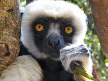 Διακυβευμένος κερκοπίθηκος Sifaka Coquerel (coquereli Propithecus) στοκ εικόνα