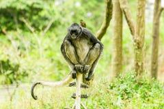 Διακυβευμένος πίθηκος αραχνών Στοκ Εικόνες