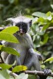 Διακυβευμένος πίθηκος colobus Zanzibar κόκκινος (kirkii Procolobus), Joza στοκ εικόνες