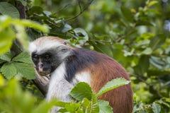 Διακυβευμένος πίθηκος colobus Zanzibar κόκκινος (kirkii Procolobus), Joza στοκ εικόνα με δικαίωμα ελεύθερης χρήσης