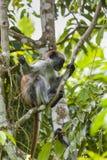 Διακυβευμένος πίθηκος colobus Zanzibar κόκκινος (kirkii Procolobus), Joza στοκ φωτογραφία