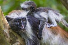Διακυβευμένος πίθηκος colobus Zanzibar κόκκινος (kirkii Procolobus), Joza στοκ φωτογραφίες με δικαίωμα ελεύθερης χρήσης