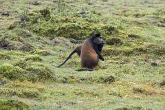 Διακυβευμένος χρυσός πίθηκος στο εθνικό πάρκο ηφαιστείων, Ρουάντα στοκ εικόνα