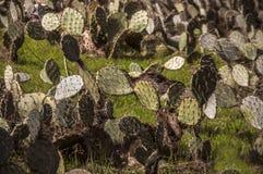 Διακόσμηση με τις εγκαταστάσεις Ντεκόρ εγκαταστάσεων διακοσμητικά φυτά Αγρόκτημα και κήπος κάκτων στο φύλλο κάκτων του Μπακού Κάκ Στοκ Φωτογραφία